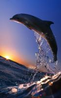 Dolphins Live Wallpaper for PC