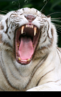 Tiger Live Wallpaper for PC